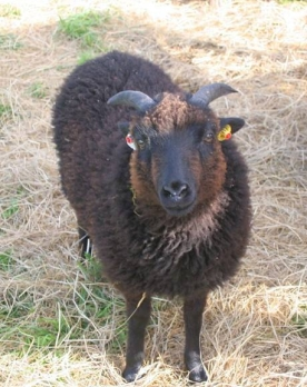 Hirsel Agnes as a lamb. Now a grown ewe, she had her first lambs, twin boys, in 2018, sired by Cairnmorrie Aidan. Her dam's progeny are always easily recognizable by the reddish tint of their wool.