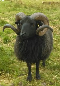 Slipperfield Donald, one of our three working tups, and sire to Cairnmorrie Aidan.