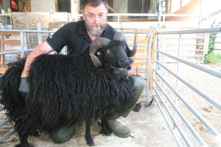 510466-00001 (Hirsel Aramis), our firstborn, and our non-pedigree working tup. Dam: Beauty / Sire unknown (Burnside Croft)